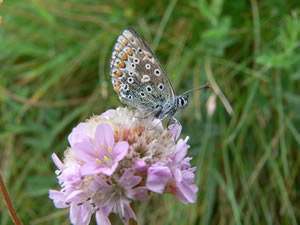 Butterfly on wild flower in Caithness