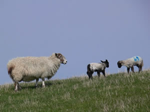 Farming and crofting in Caithness